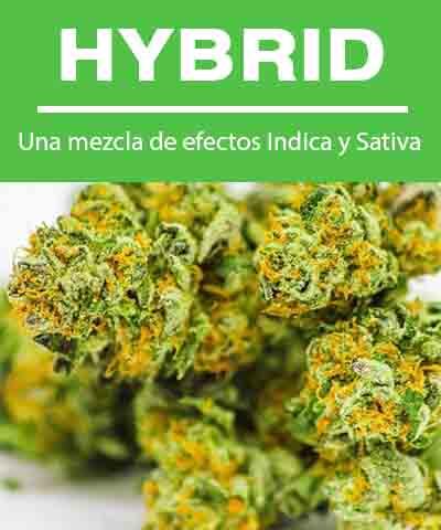 Descripción e imagen de la flor de cannabis híbrido